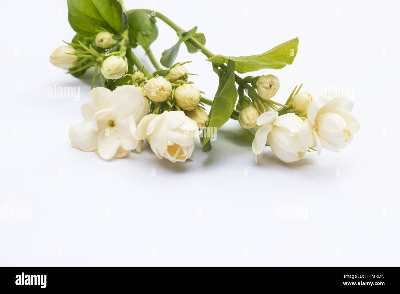 Jasmine Flowers Arabian Jasmine Jasminum Sambac On White