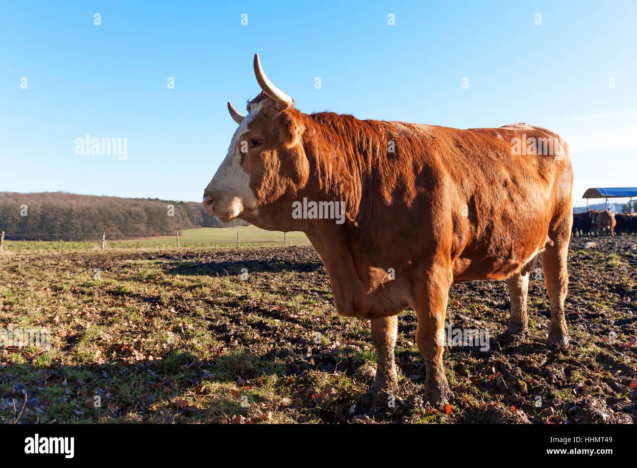 Salers, reddish brown cattle on pasture, Middle Franconia, Bavaria, Germany - Stock Image