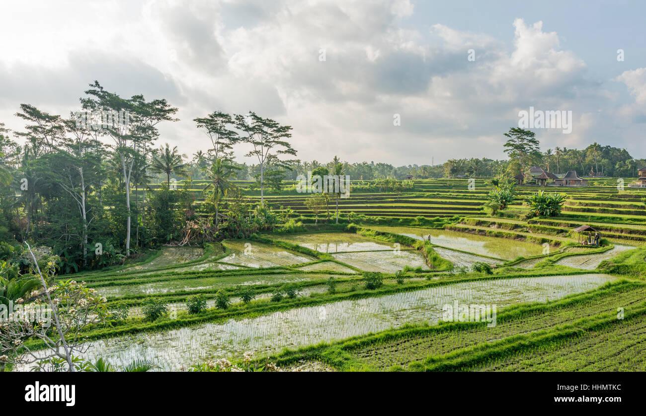 Rice terraces of Jatiluwih, Bali, Indonesia - Stock Image
