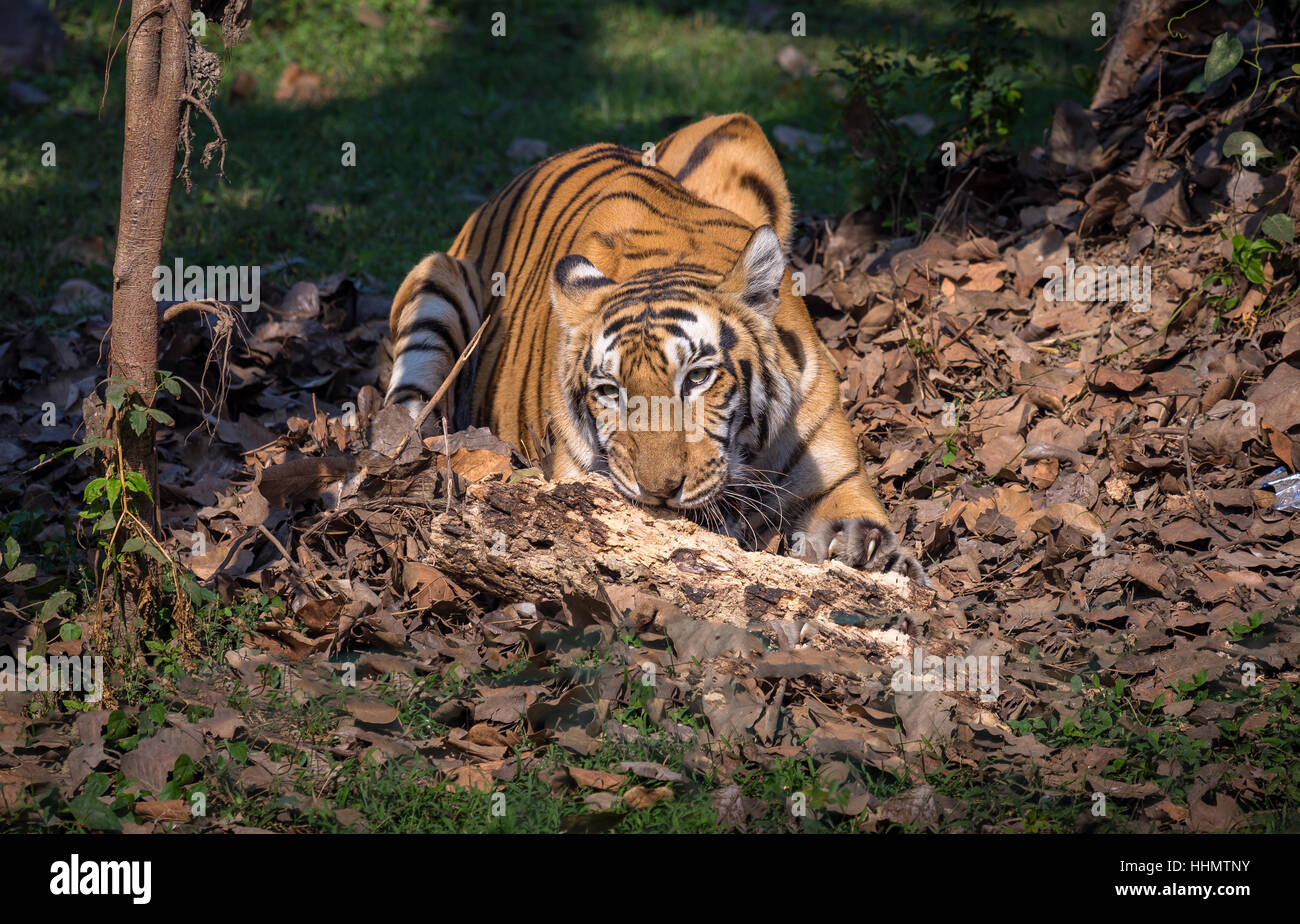 Bengal tiger at an animal and wildlife sanctuary in India. Considered as a fierce predator in the family of big - Stock Image