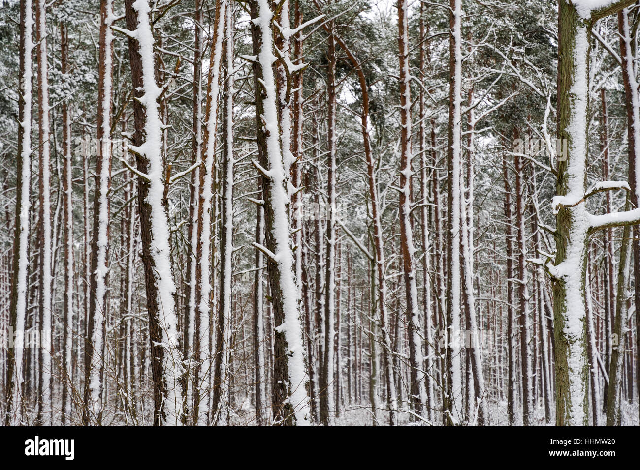 Snowy tree trunks in a pine tree forest after the snow storm Stock Photo