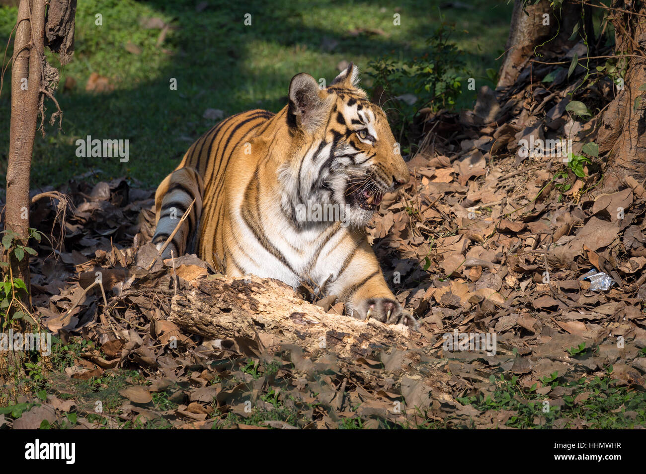 The Bengal tiger in a natural habitat environment at a wildlife sanctuary in India. - Stock Image