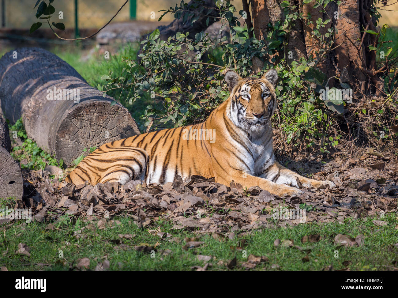 Bengal tiger resting in his confinement at an animal wildlife sanctuary in India. - Stock Image