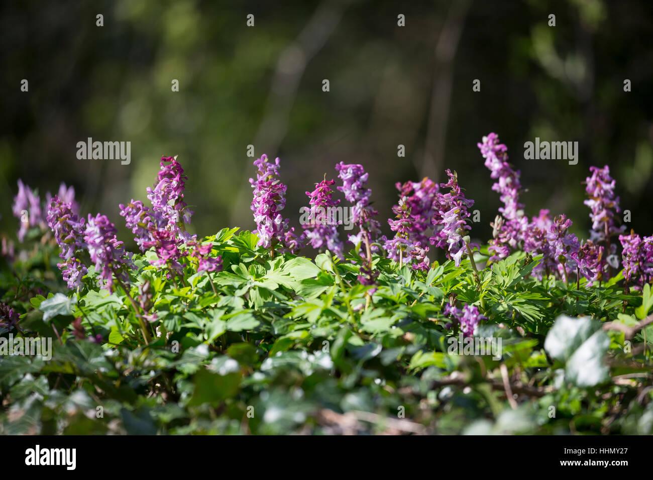 Hohler Lerchensporn, Hohlknolliger Lerchensporn, Corydalis cava, Corydalis bulbosa, Bulbous Corydalis, Hollowroot, - Stock Image