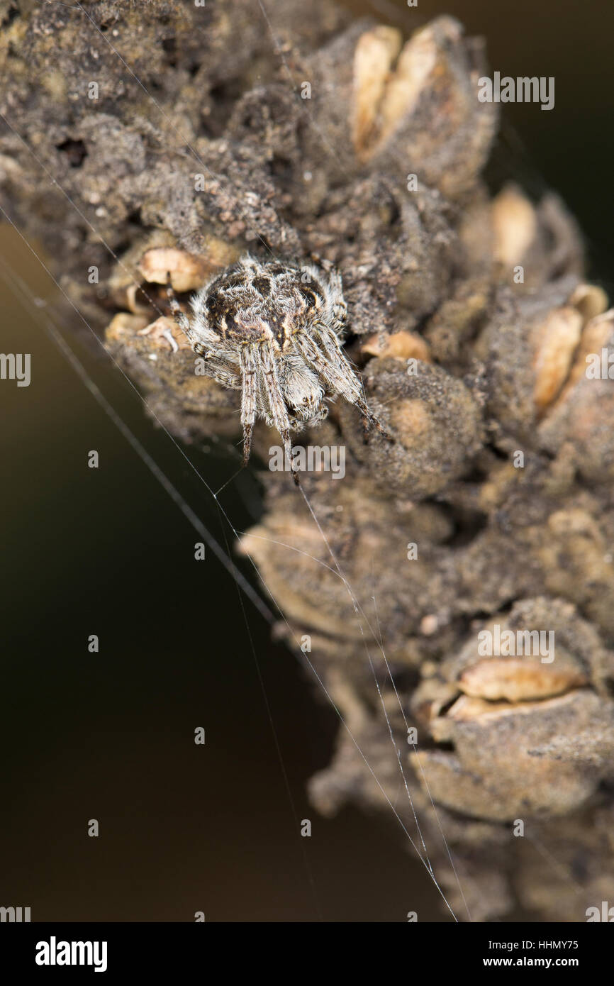 Körbchenspinne, Körbchen-Spinne, Agalenatea redii, Agalenatea redi, Gorse orbweaver, Echte Radnetzspinnen, - Stock Image