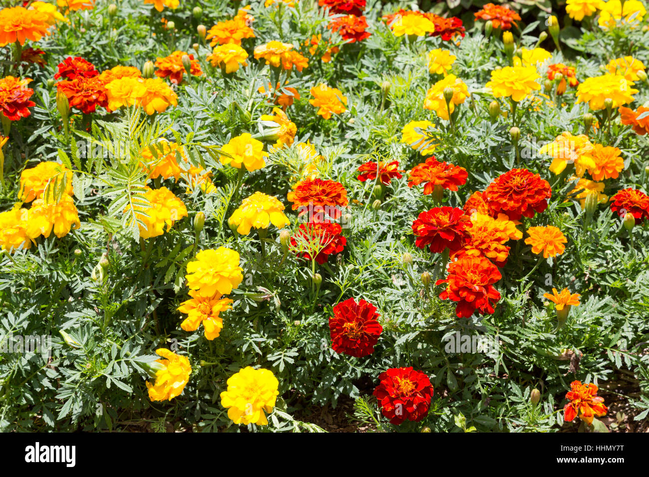 French marigold (Tagetes patula), full of flowers in garden, Campos do Jordao, State of Sao Paulo, Brazil Stock Photo