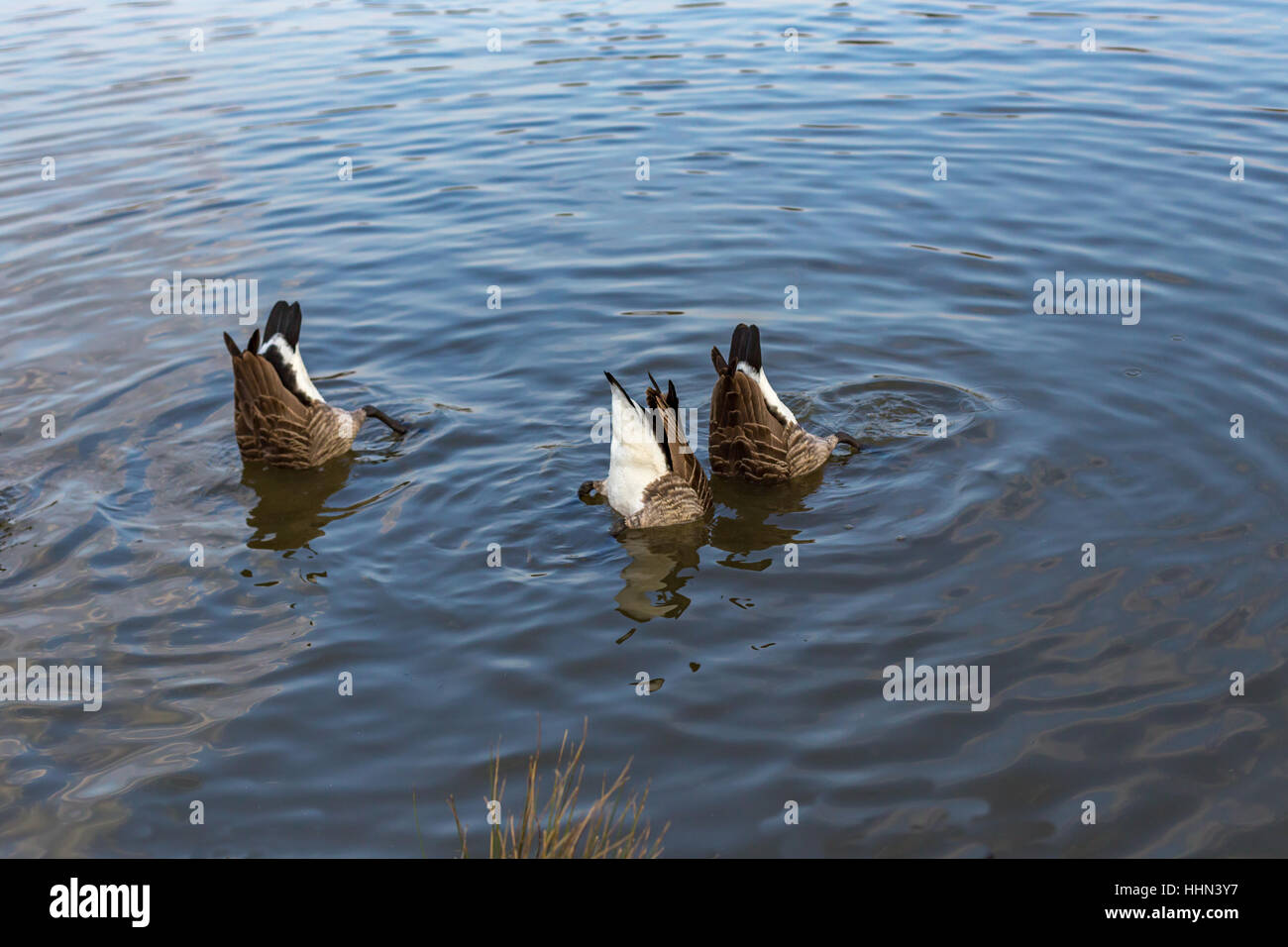 Three Canadian geese with just their bottoms showing in the lake. Stock Photo