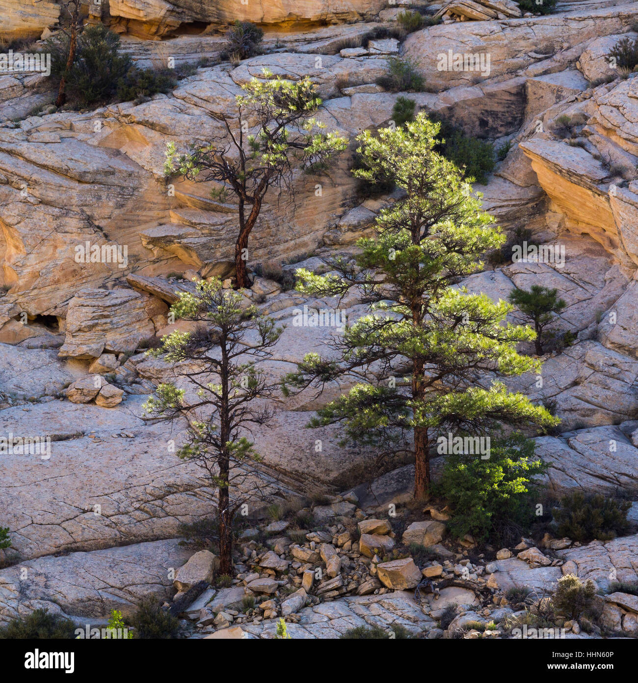 Ponderosa pine trees clinging to slickrock along the Escalante River Trail. Grand Staircase-Escalante National Monument, - Stock Image