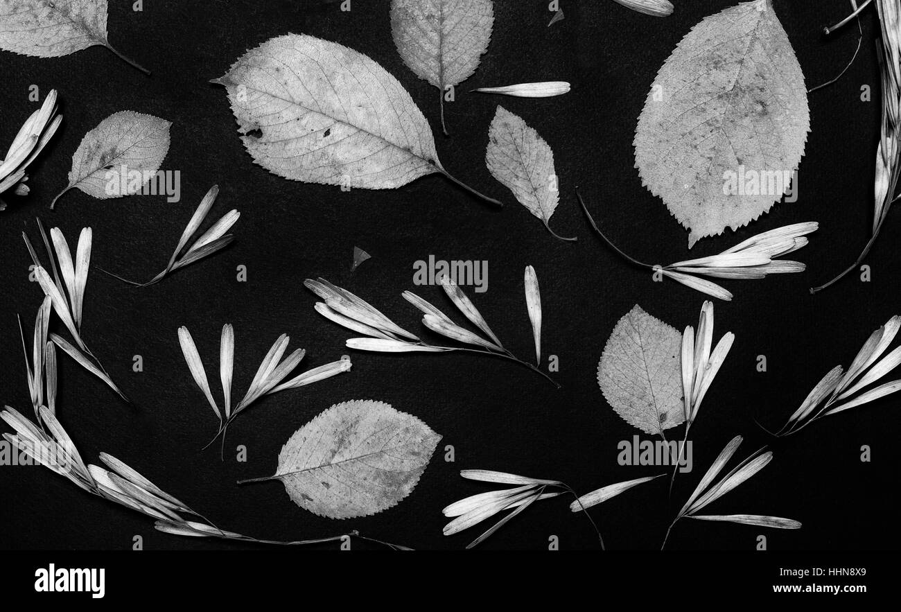 Leaves and ash tree seed  on black background. Black and white photo Stock Photo