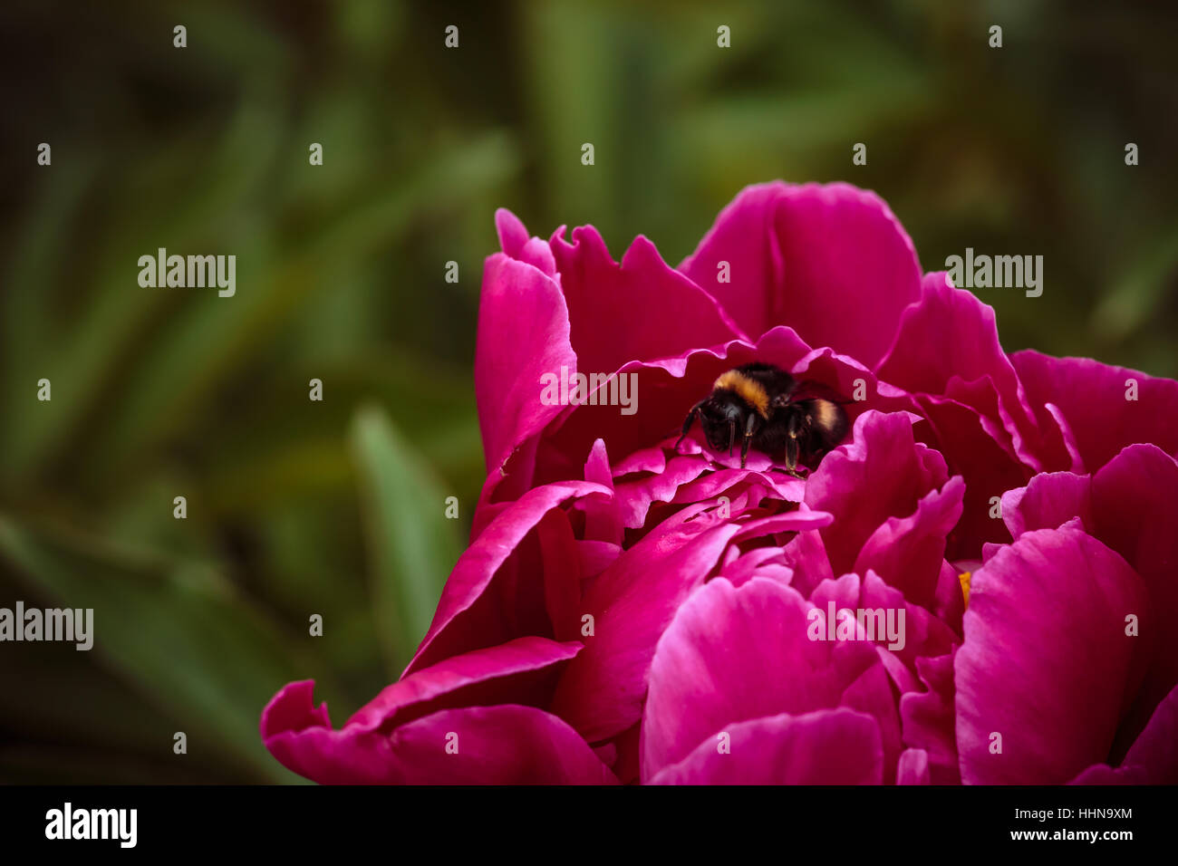 One ordinary bumblebee in pink peonies on background Stock Photo