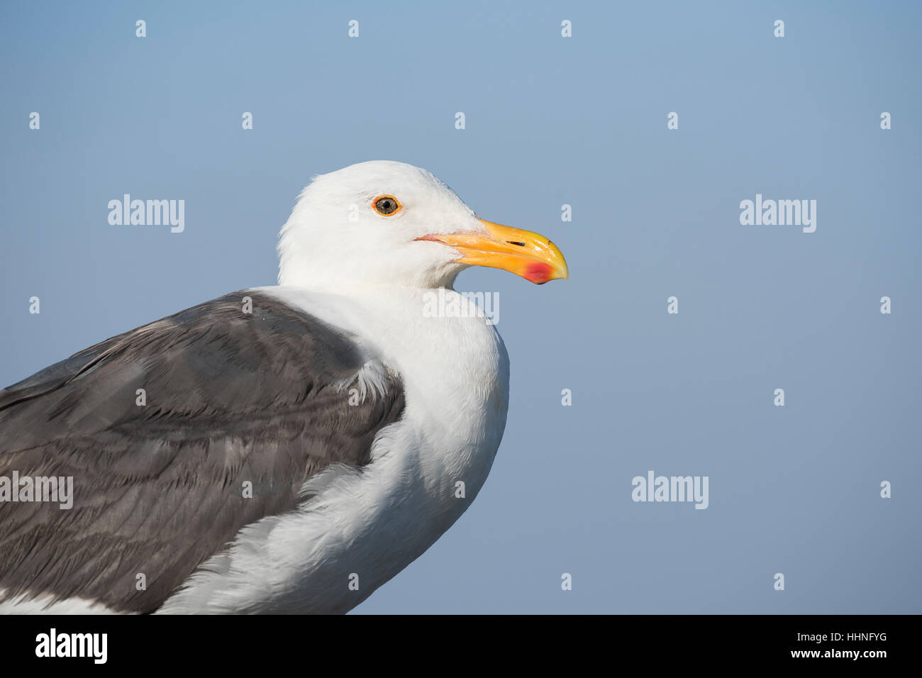 western gull, Larus occidentalis, adult, Piedras Blancas, near San Simeon, California, United States ( Eastern Pacific - Stock Image
