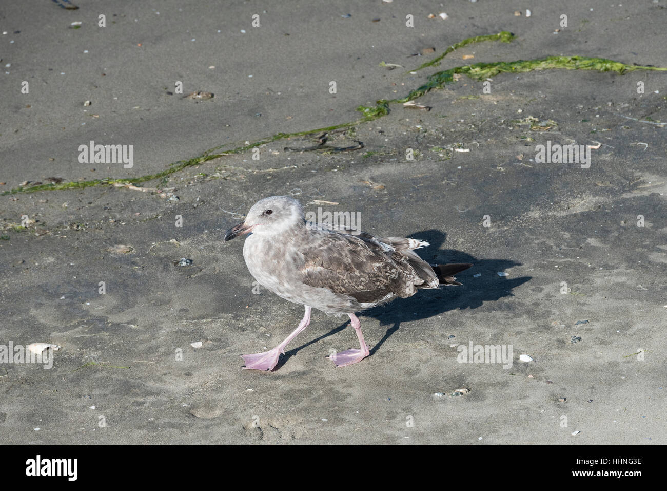 juvenile western gull, Larus occidentalis, Elkhorn Slough, Moss Landing, California, United States - Stock Image