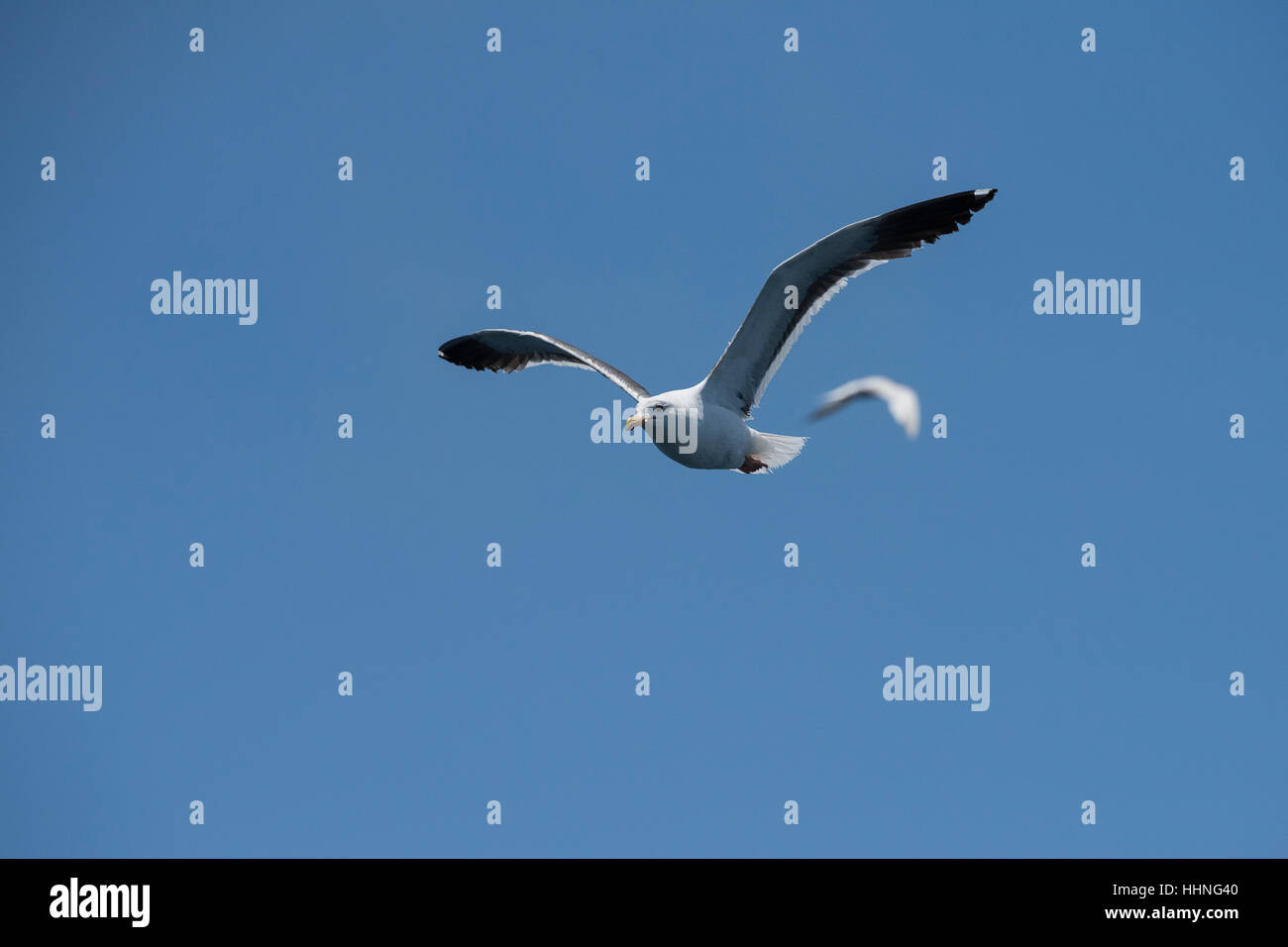 western gull, Larus occidentalis, off San Diego, Southern California, United States ( Eastern Pacific Ocean ) - Stock Image