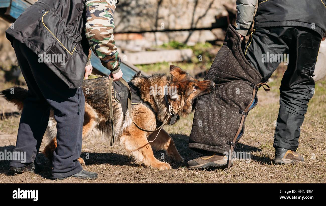 German Shepherd Dog Training. Biting Alsatian Wolf Dog. - Stock Image