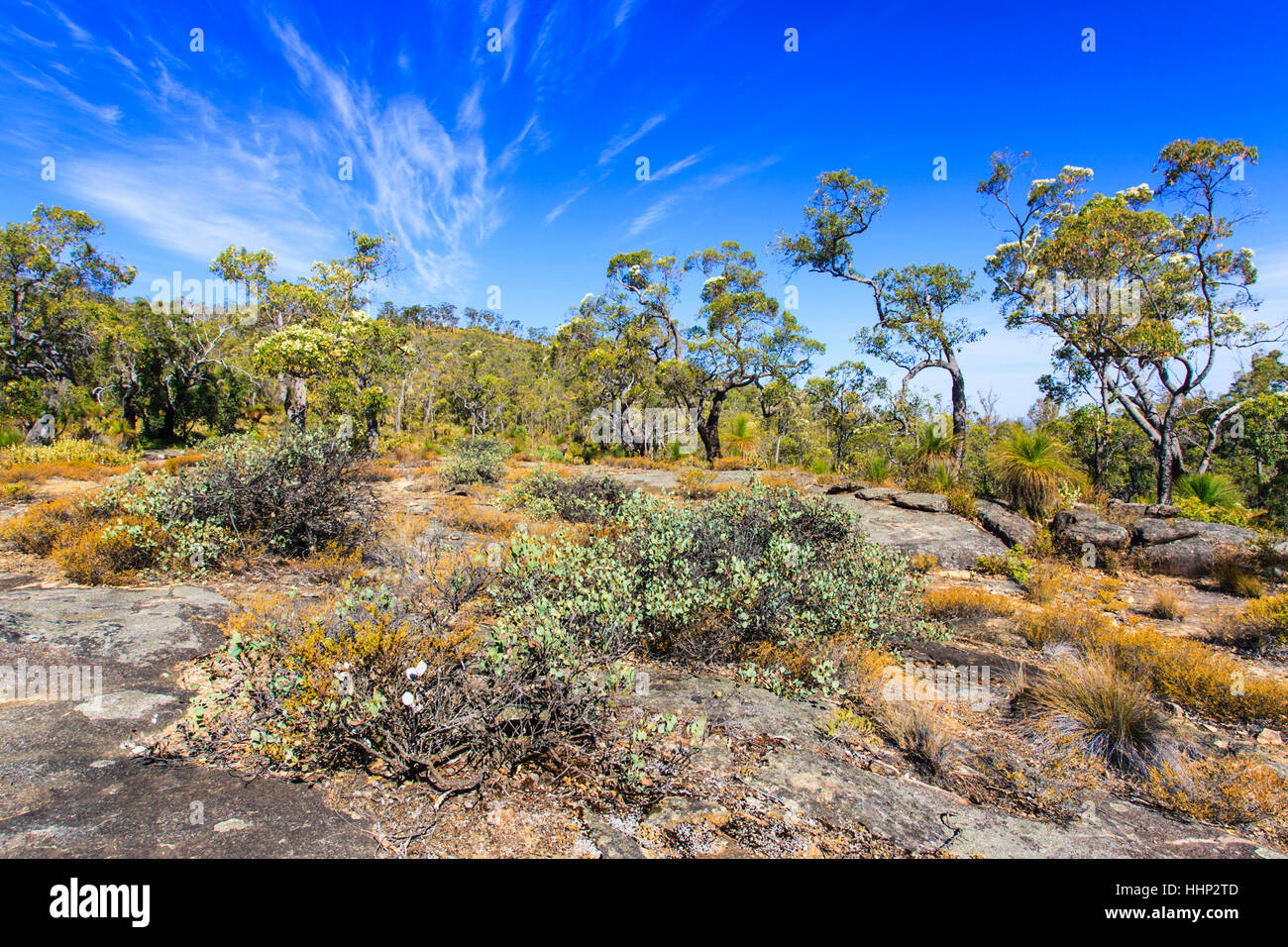 Flowering Eucalyptus trees growing in bushland on granite outcrops at Mount Dale. Darling Scarp, Perth, Western - Stock Image
