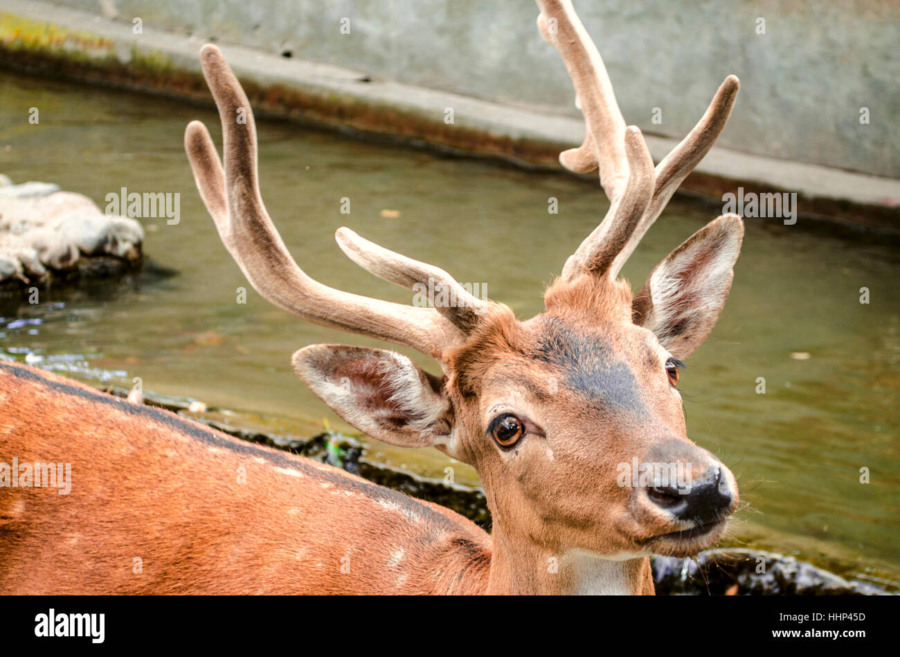Young spotted redheaded deer with a wet muzzle at a watering place - Stock Image