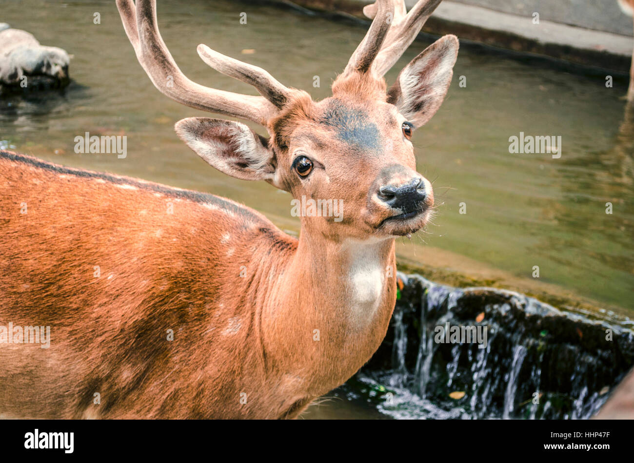 Young spotted redheaded deer with new velvety horns in water - Stock Image