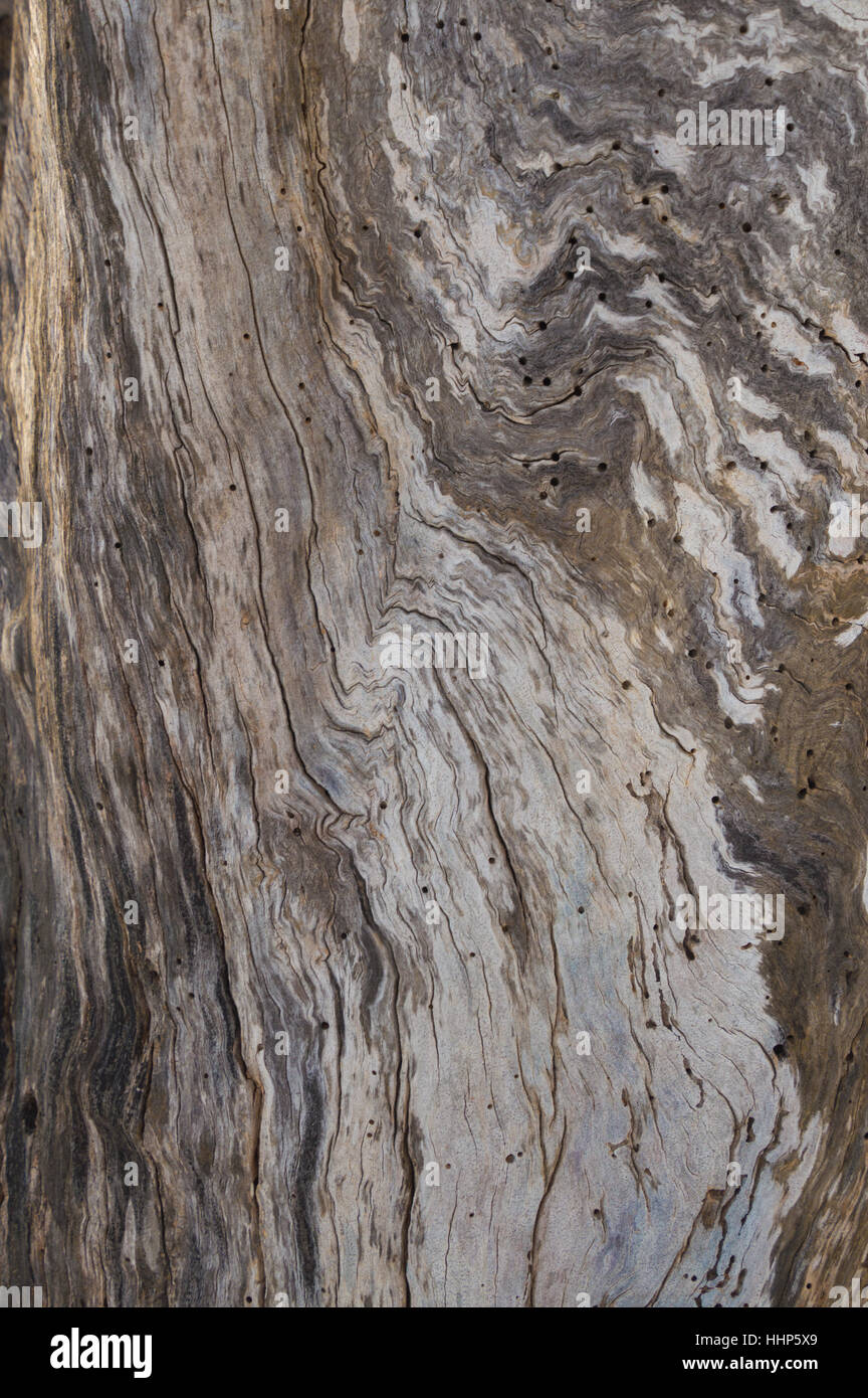 Abstract dead apple tree trunk bark swirl pattern with dead wood and wood grain swirls and woodworm holes. - Stock Image
