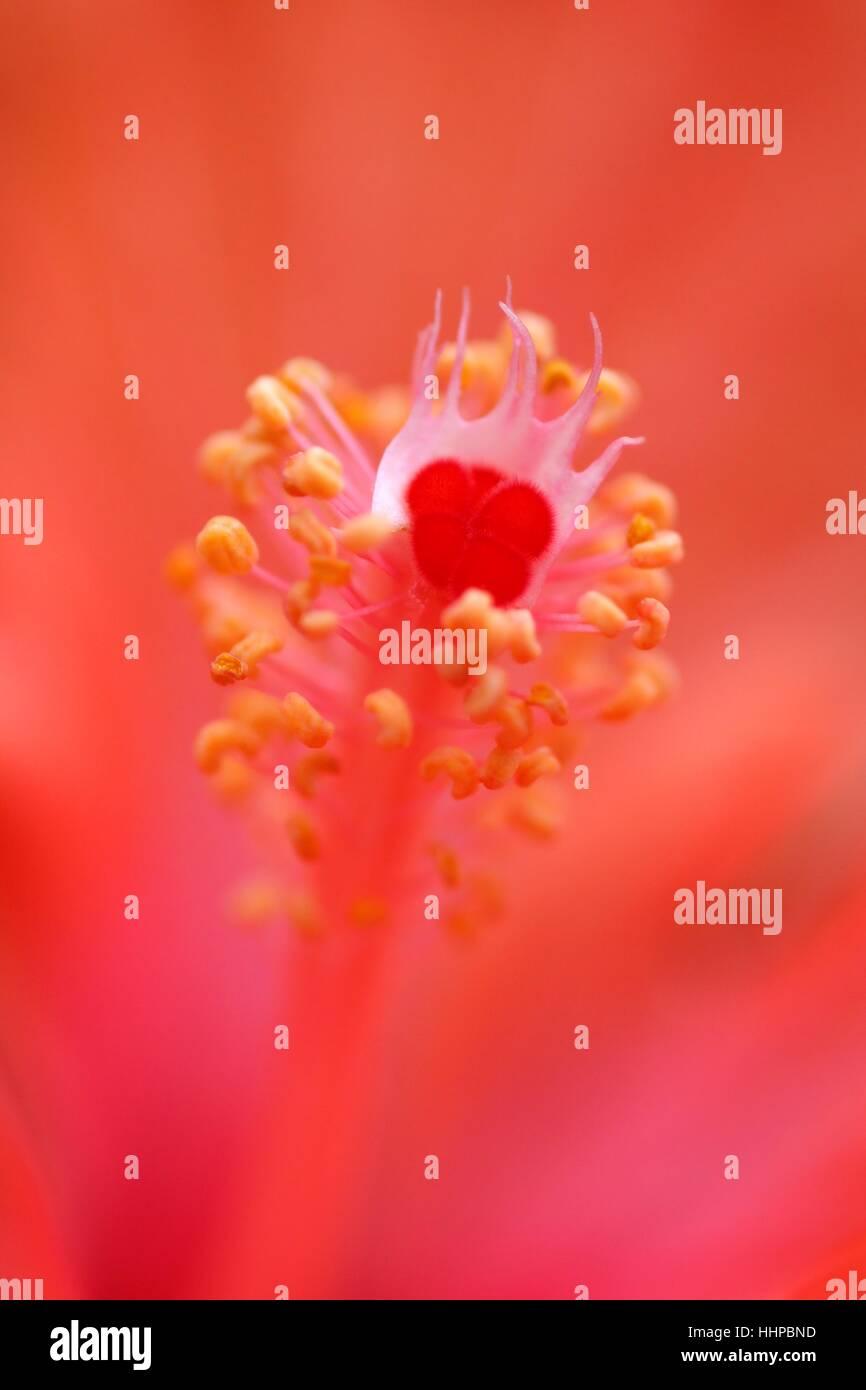 hibiscus, closeup, flower, plant, rose, stamp, pollen, decorative plant, Stock Photo