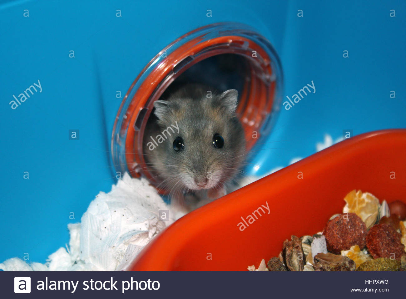 animal, claw, dwarf, cage, maddening, pert, coquettish, cute, eating, eat, - Stock Image