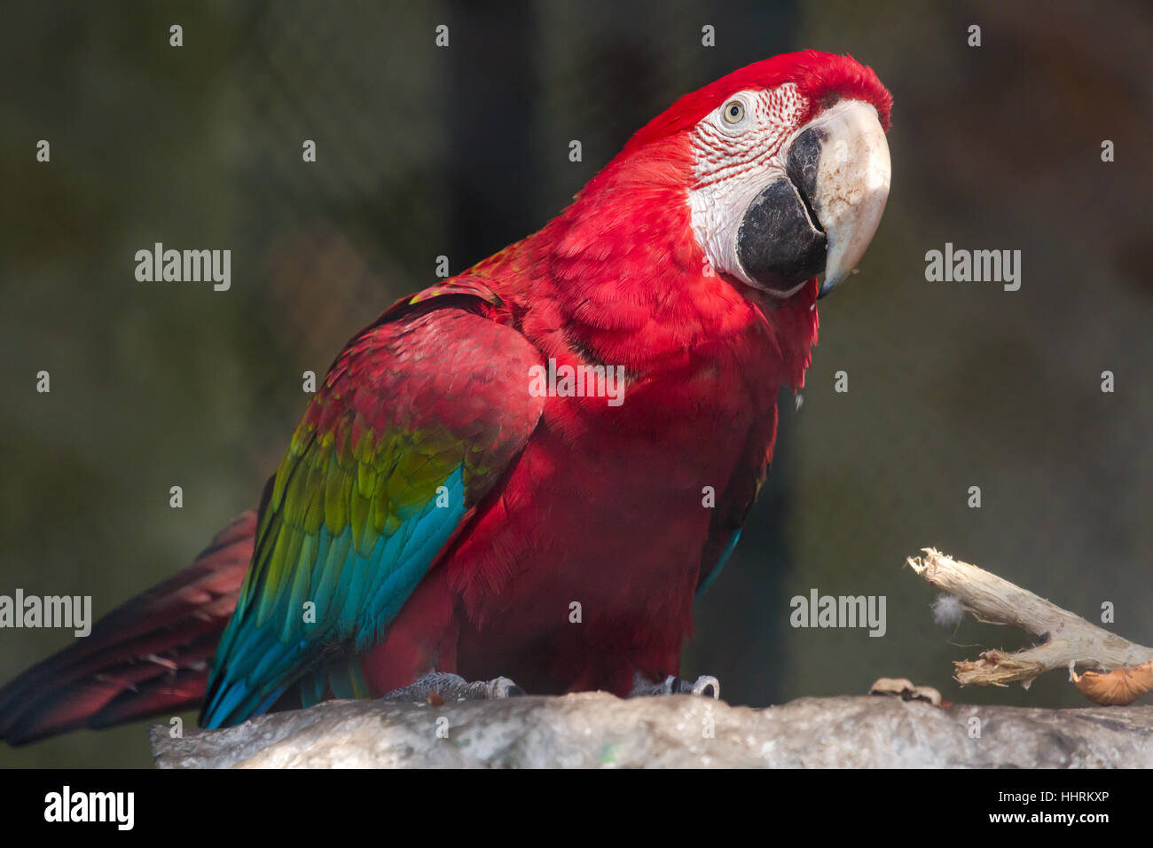 Scarlet macaw bird at a bird sanctuary in India  A large red