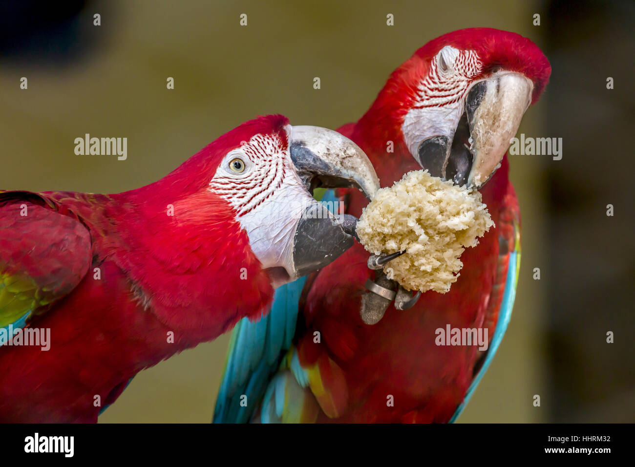 Scarlet macaw birds share food at a bird sanctuary in India. Closeup portrait shot of the macaw birds. - Stock Image