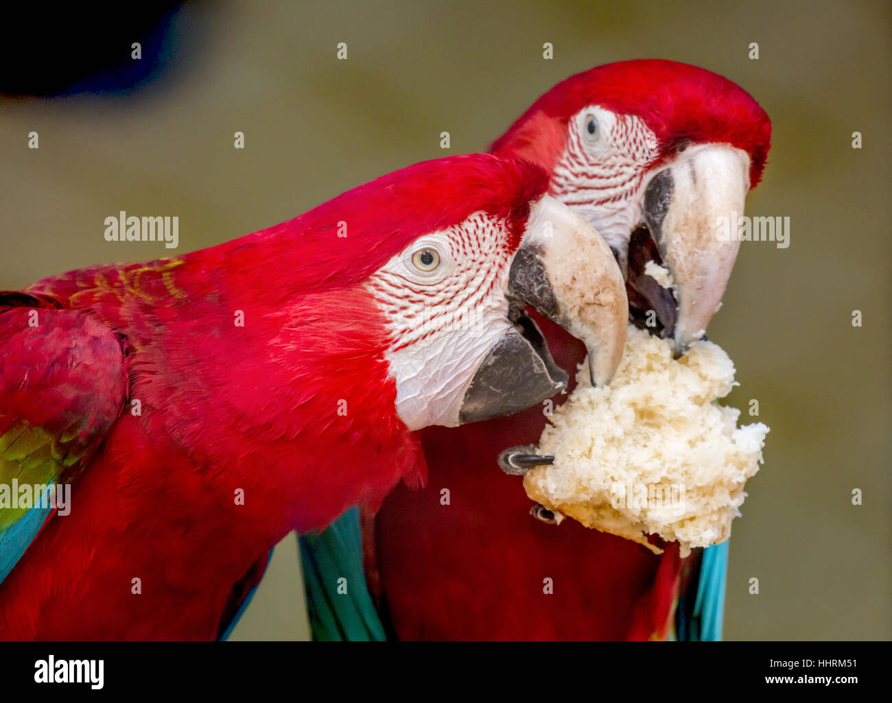 Scarlet macaw birds share a piece of cream loaf at a bird sanctuary in India. A closeup portrait shot. - Stock Image