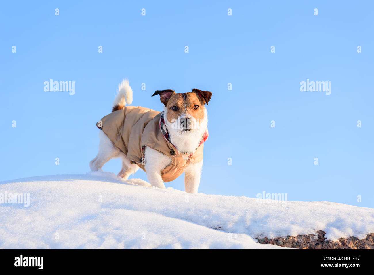 Dog walking on top of rock covered with snow and blue sky at background - Stock Image