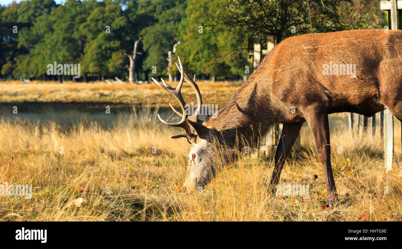 Stag grazing in Richmond Park, London - Stock Image