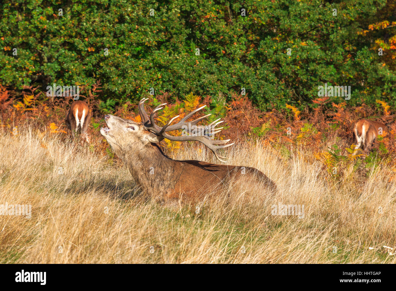 Stag roaring in Richmond Park, London - Stock Image