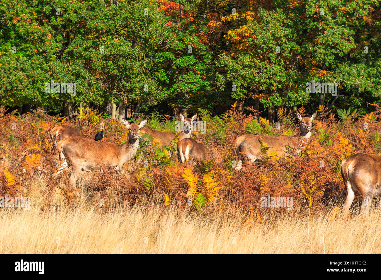 Herd of red deer in Richmond Park, London - Stock Image