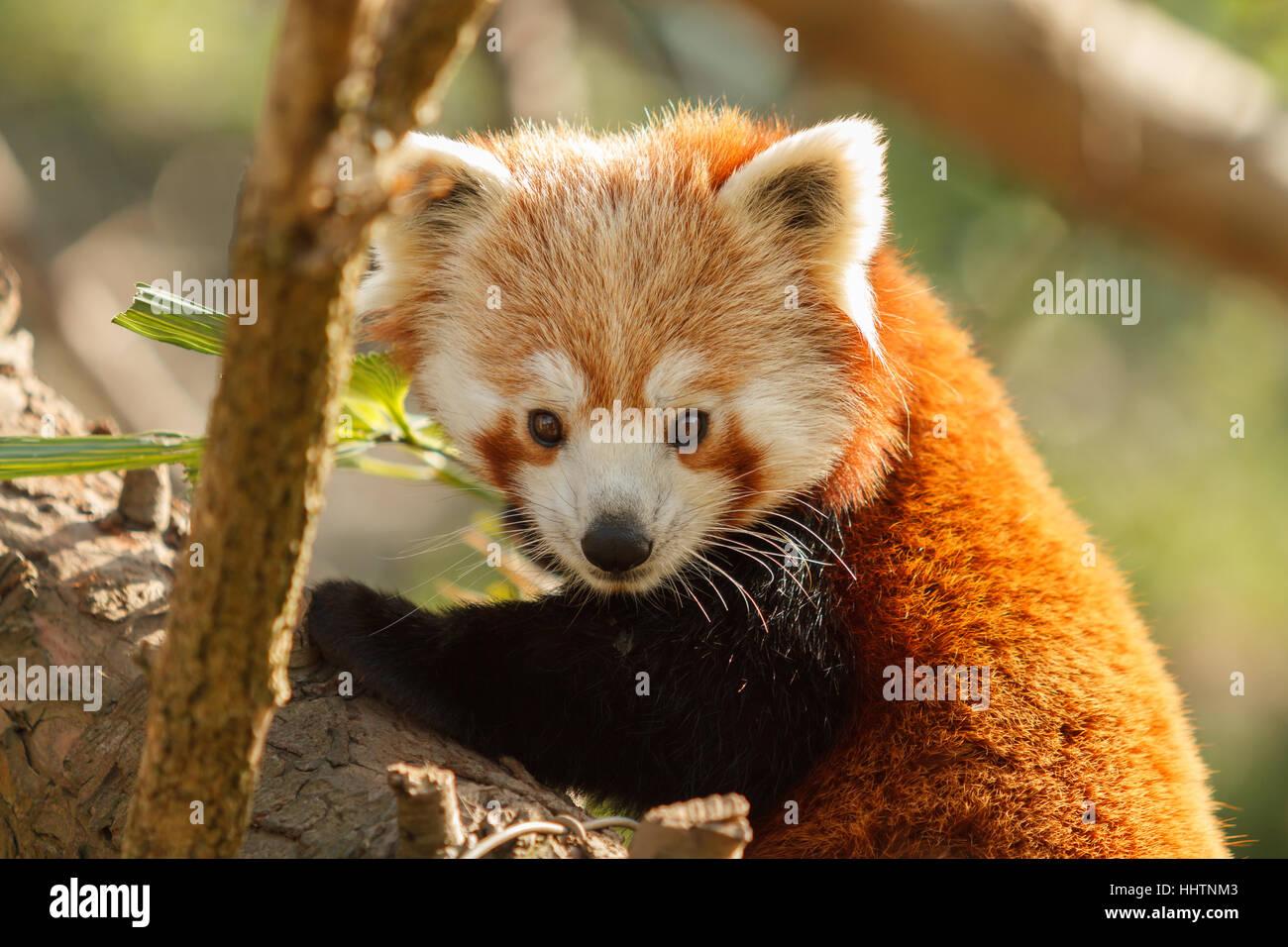 Chinese or Himalayan Red Panda latin name Ailurus fulgens, also known as the lesser panda or red bearcat indigenous - Stock Image