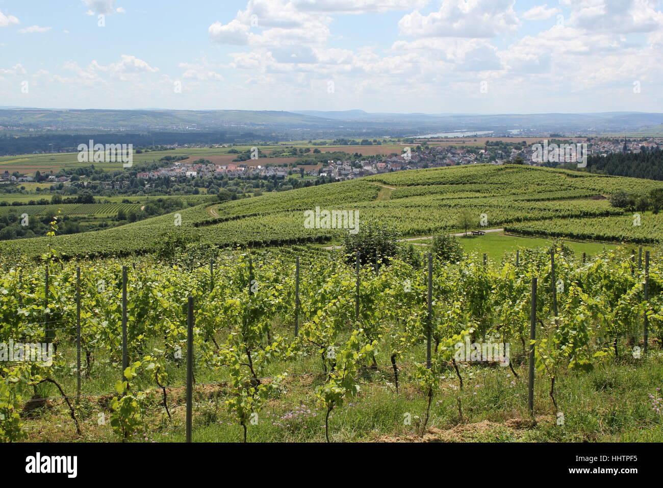 vineyards, blank, european, caucasian, europe, cultivation of wine, location - Stock Image