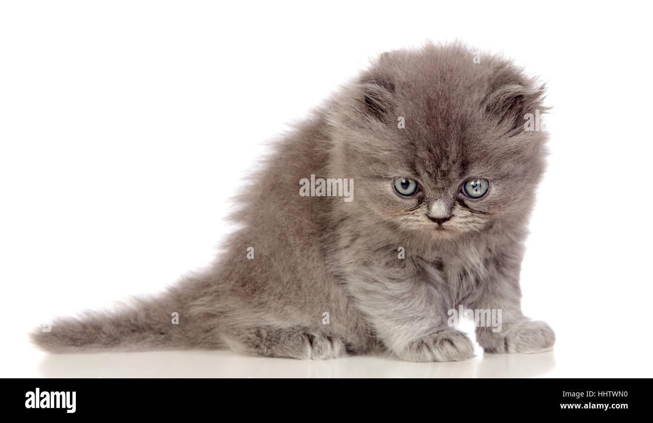 Animal Pet Cat Baby Kitten Homey Domestic Feline Angora Stock