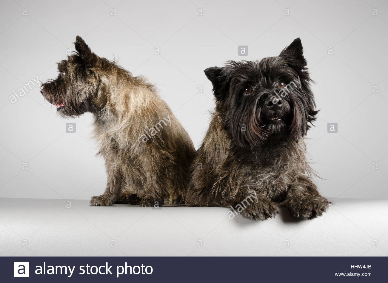 Cairn Terriers - male and female - 5.5yrs old - Stock Image