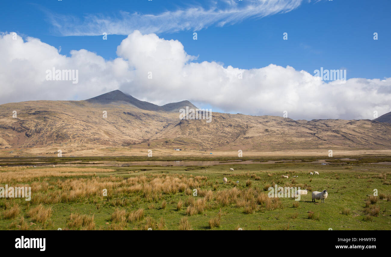 Isle of Mull Scotland UK country scene with view to Ben More and Glen More mountains on calm spring day with sheep - Stock Image