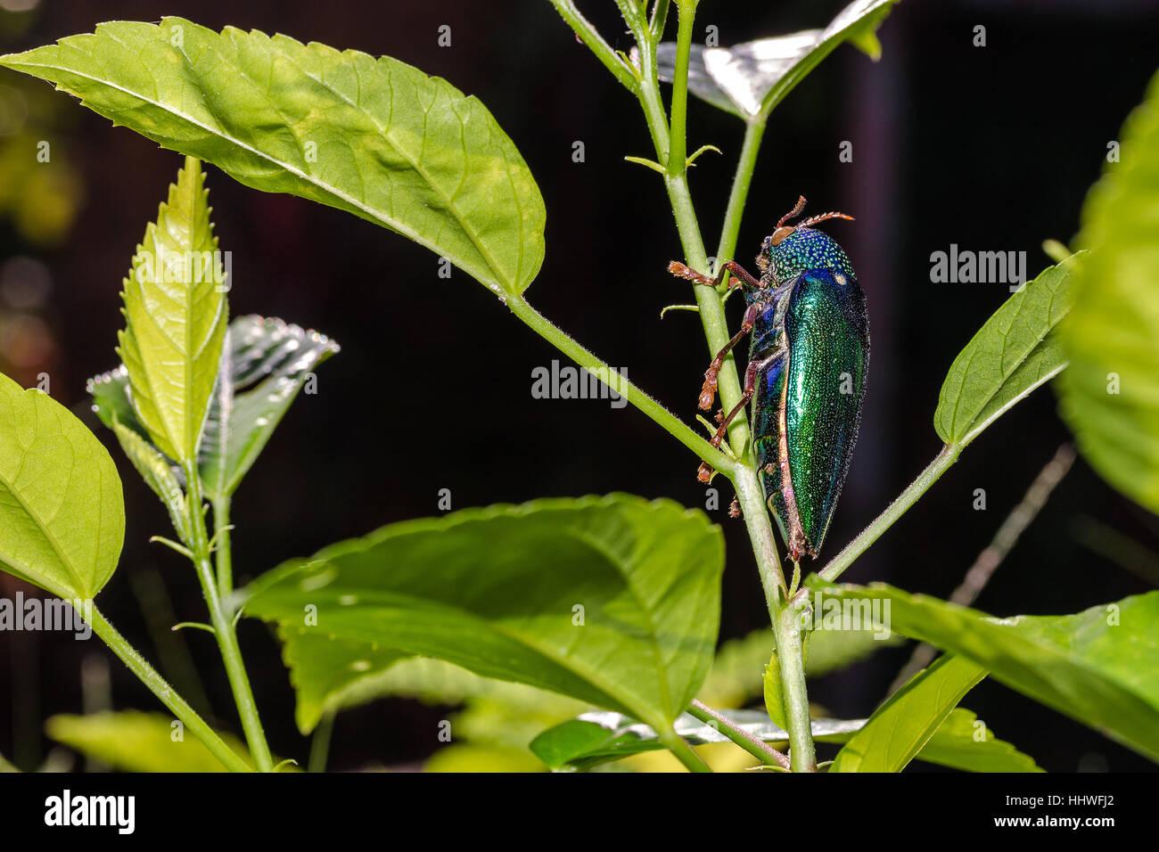 Jewel Beetle (Sternocera ruficornis) on the tree - Stock Image