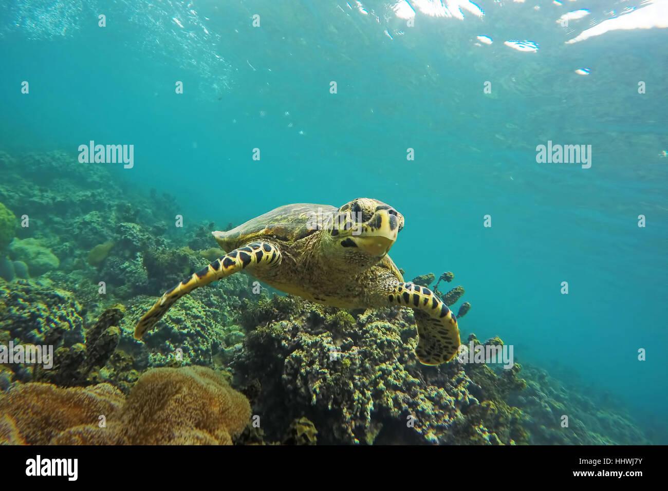 Green Turtle (Chelonia mydas) swims over reef, Seychelles - Stock Image