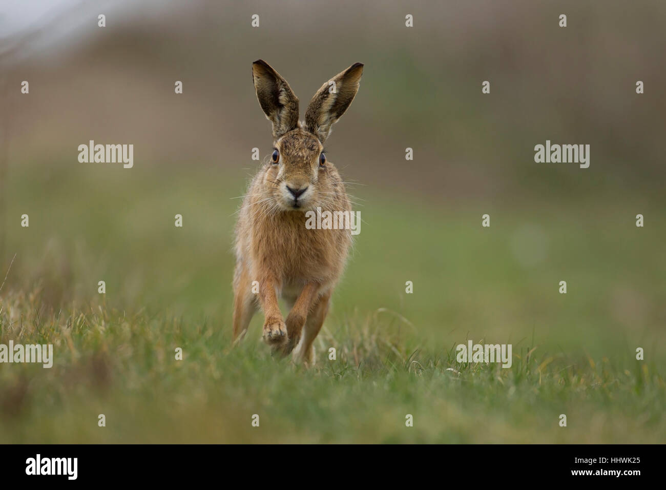Brown hare (Lepus europaeus) running, in a field, Suffolk, England, United Kingdom - Stock Image
