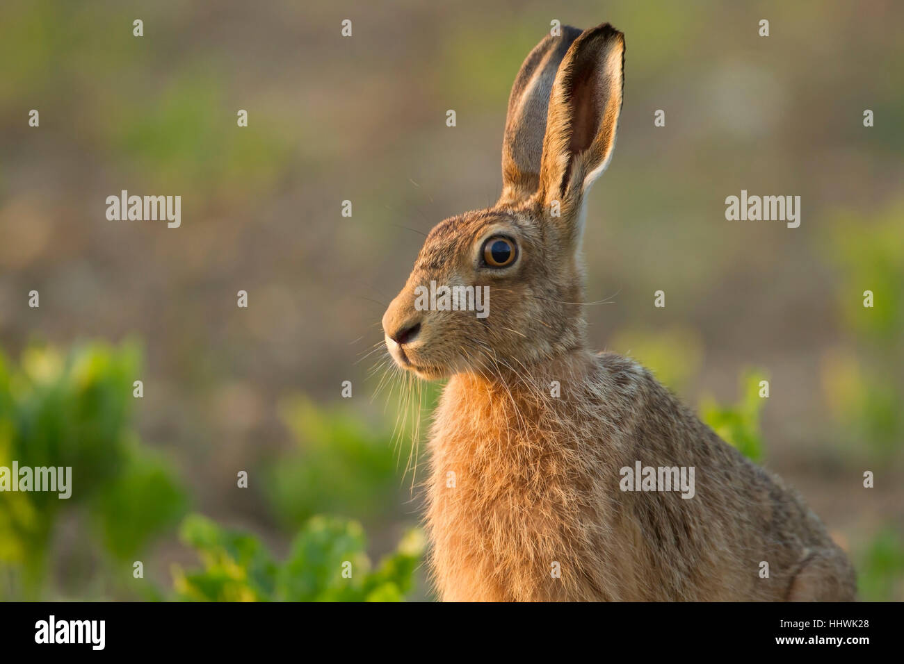Brown hare (Lepus europaeus) alert, in a field, Suffolk, England, United Kingdom - Stock Image