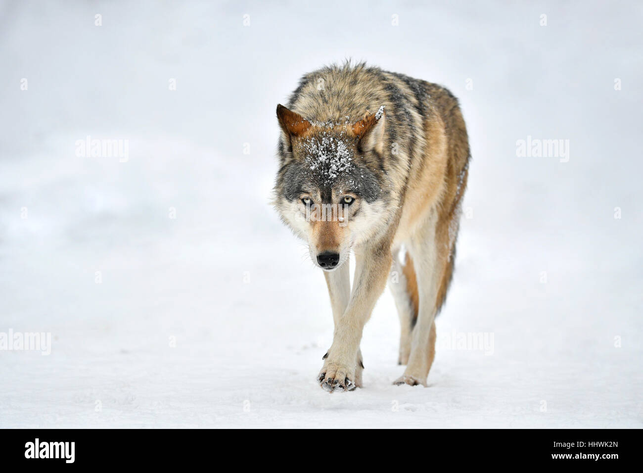 Eastern wolf (Canis lupus lycaon) in snow, captive, Baden-Württemberg, Germany - Stock Image