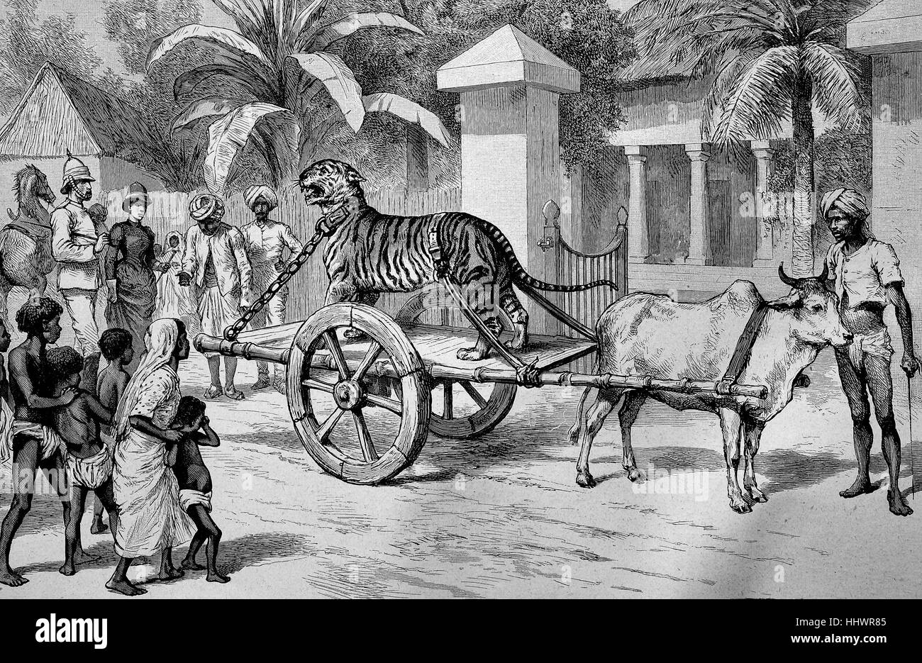 A chained, captured tiger is driven on a car through the road, India, historical image or illustration, published - Stock Image