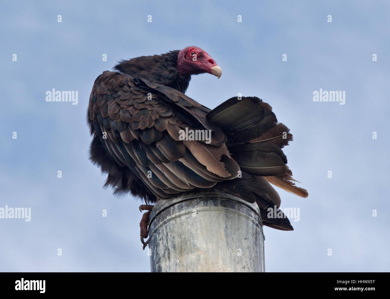 Turkey Vulture (cathartes aura) atop Chimney Stack, West Point Island, Falkland Islands - Stock Image