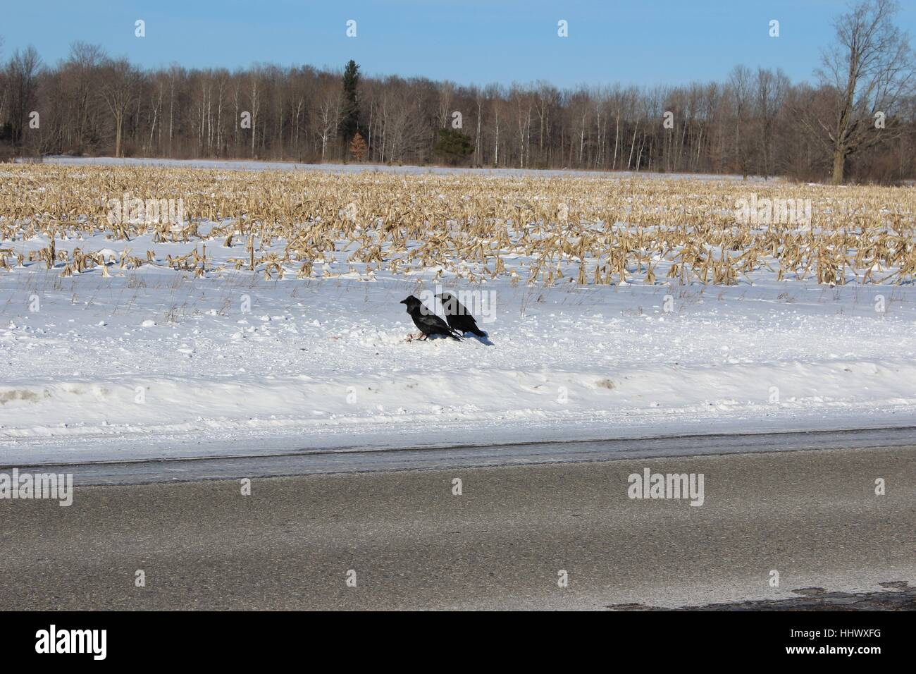 Two Crows Seemingly Reminiscing As They Look Across An Old Snowy Corn Field - Stock Image