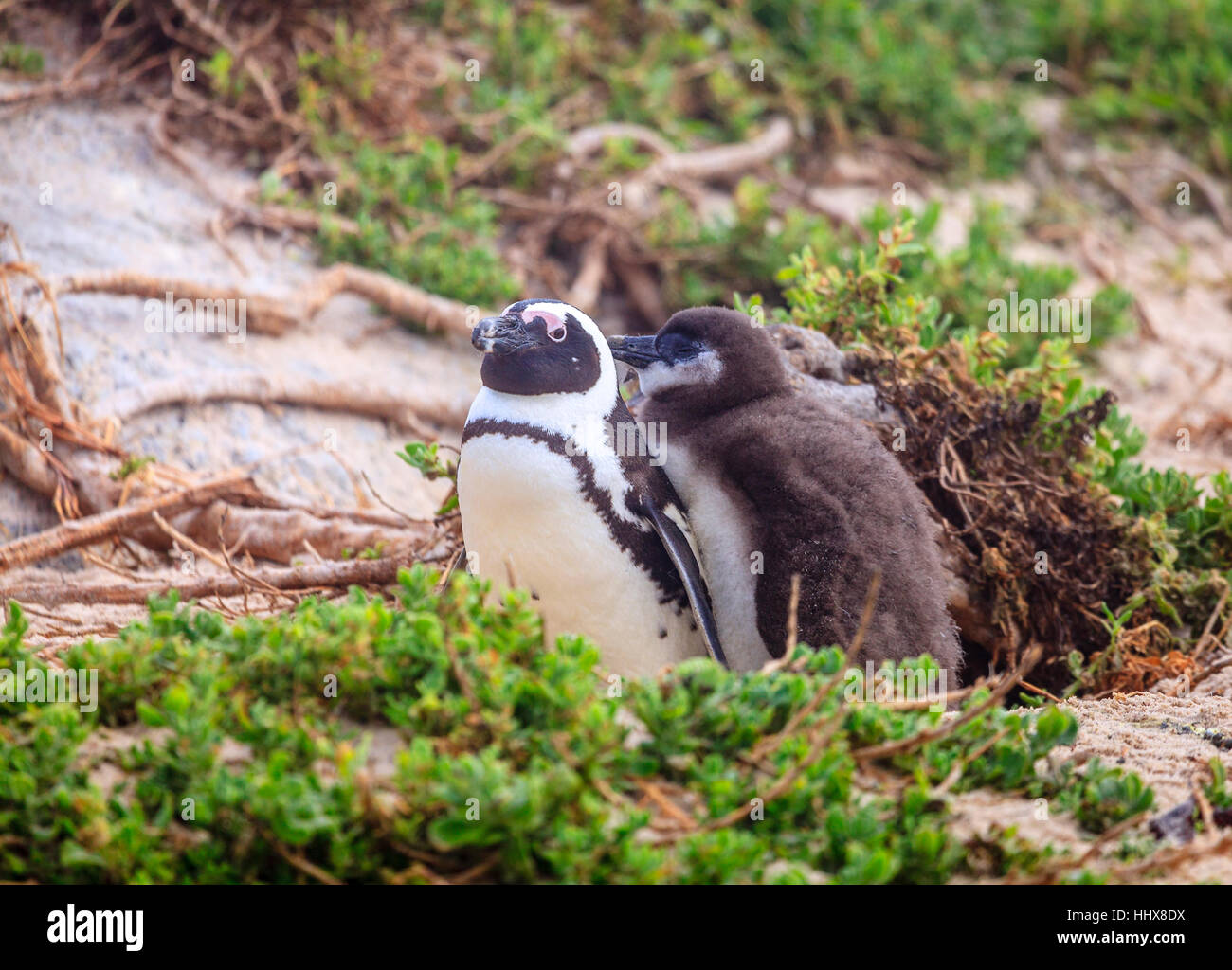 African Penguin family at Boulder Beach in Simon's Town, South Africa - Stock Image