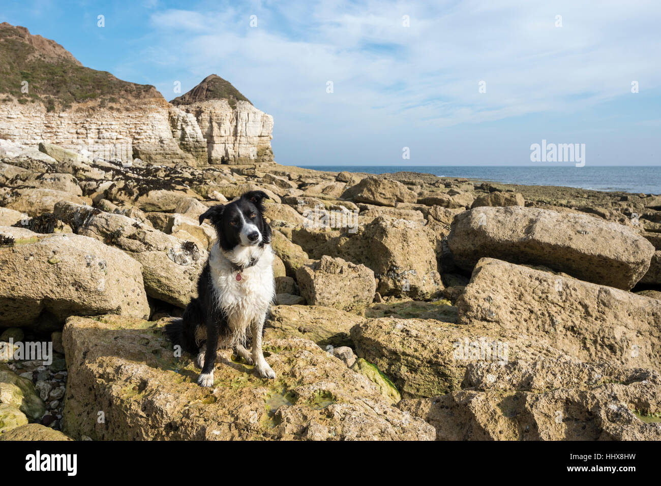 Border Collie sitting on the rocks at Thornwick bay on the coast of North Yorkshire. Stock Photo