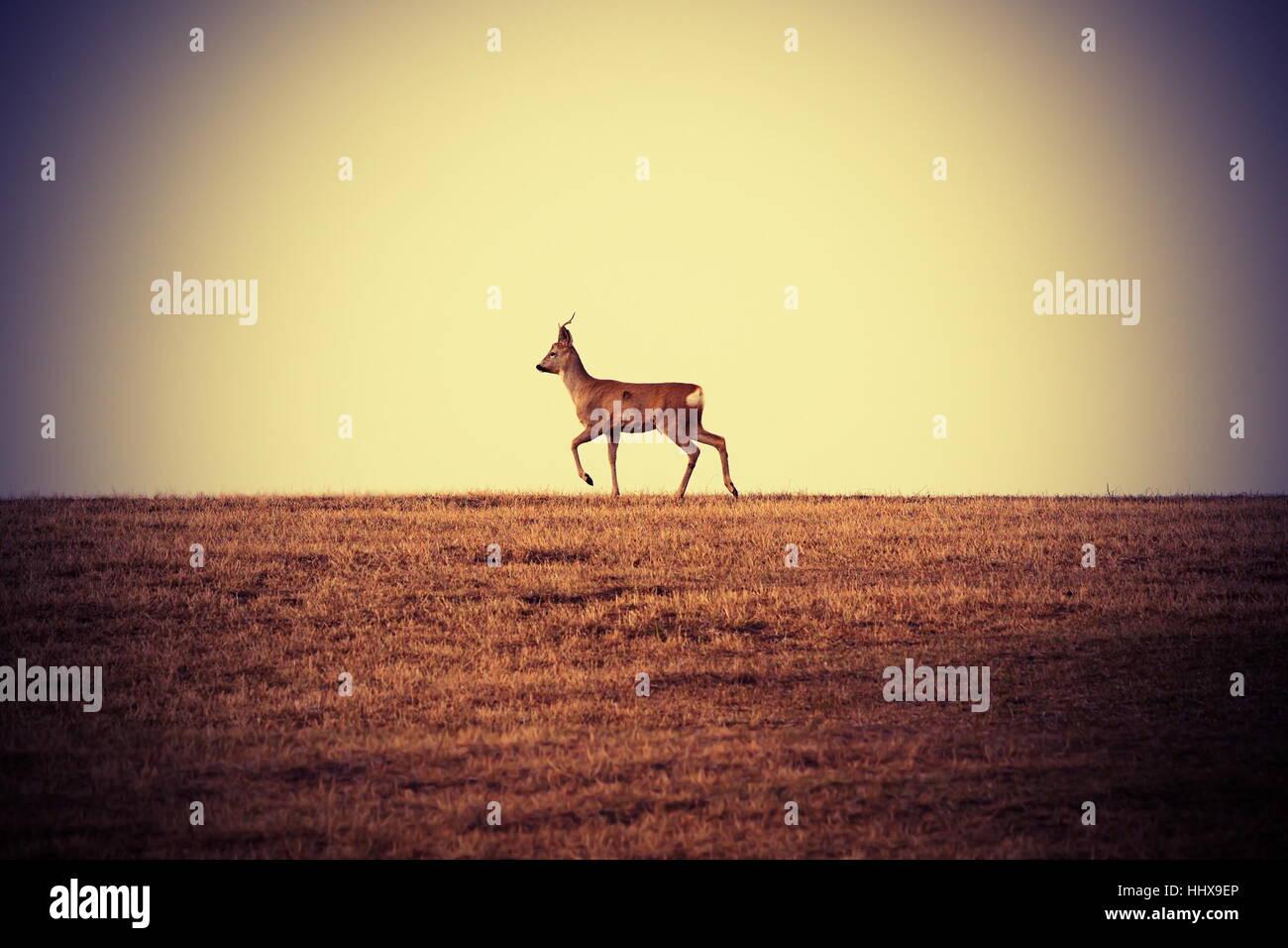 roebuck walking on faded meadow at horizon ( Capreolus, male ) - Stock Image