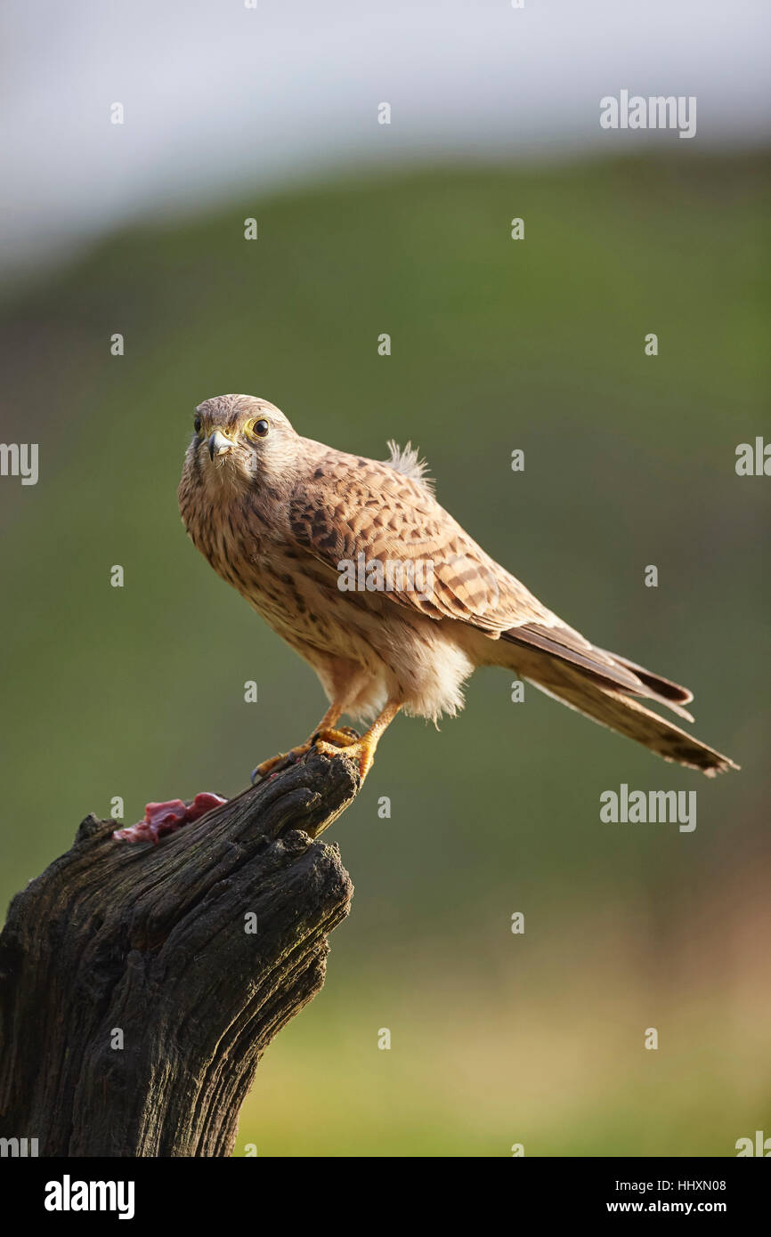 Kestrel, Falco tinnunculus perched on an old tree stump - Stock Image