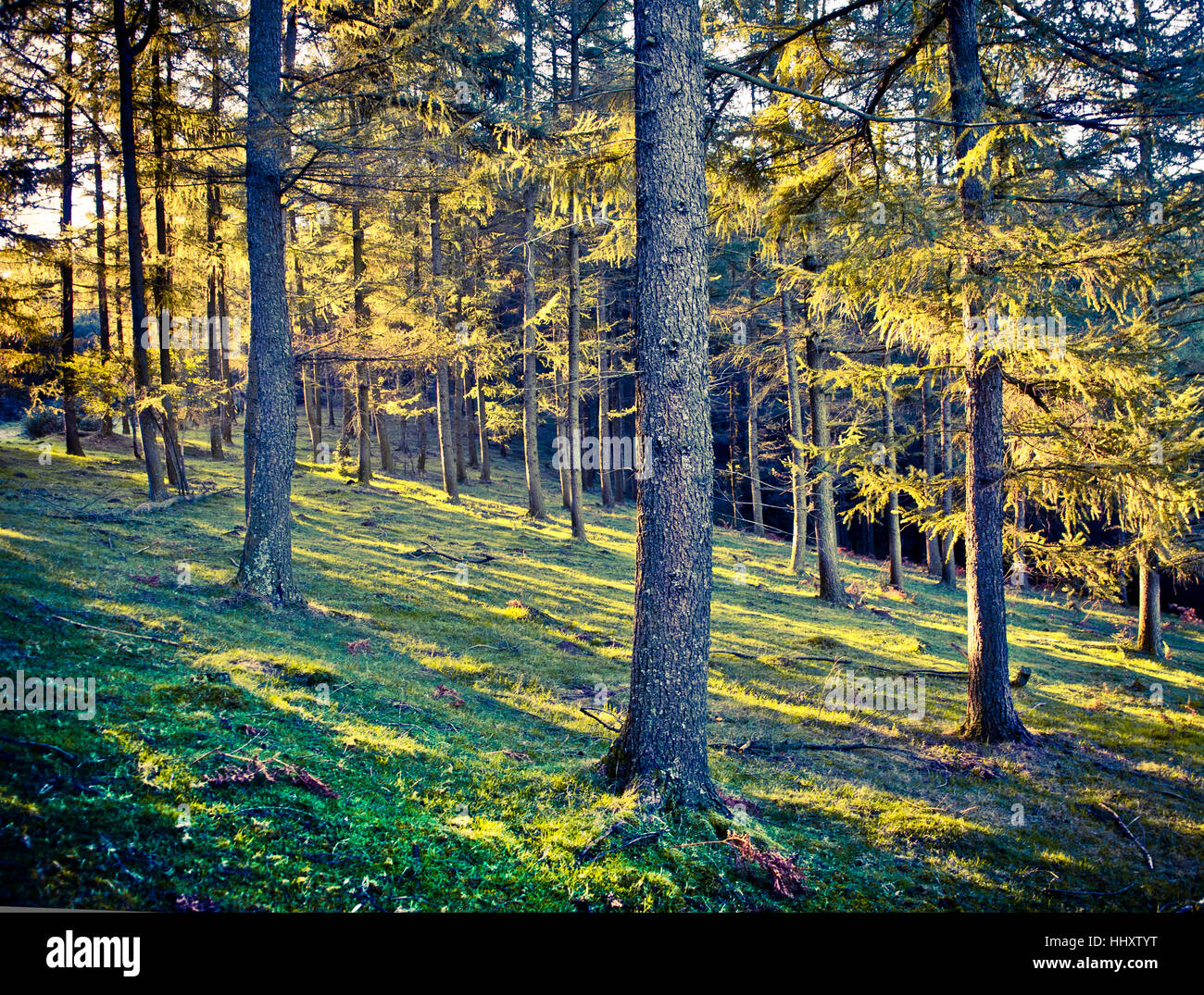 Conifer forest landscape in autumn. - Stock Image