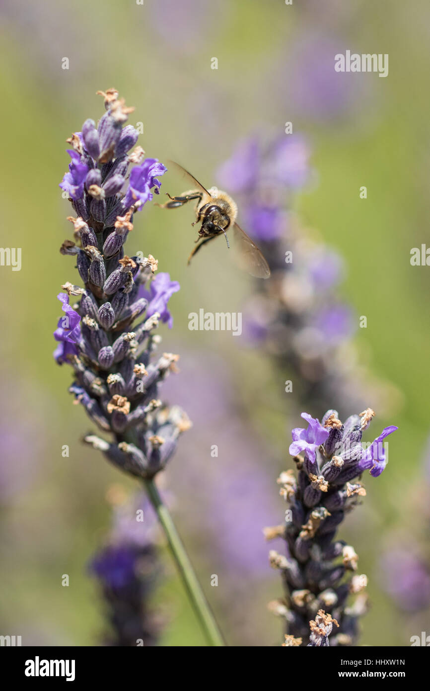Honey Bee ( Hymenopterans ] Flying onto Lavender ( Lavandula angustifolia ) - Stock Image
